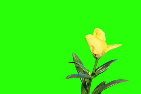 4K. Blooming yellow lily flower buds green screen Footage