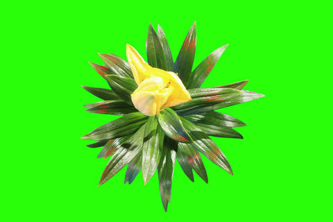 4K. Blooming yellow lily flower buds green screen Live Action