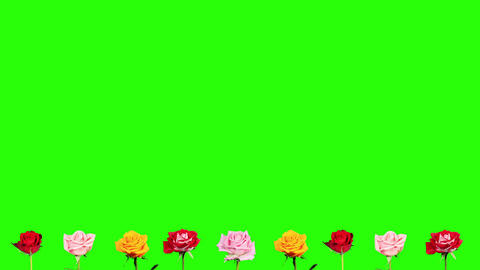 4K. Frame of blooming roses time-lapse with green Footage