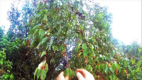 Harvesting prunus salicifolia from the cherry tree Stock Video Footage