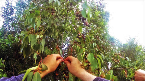 Harvesting Prunus Salicifolia From The Cherry Tree stock footage