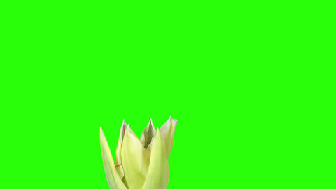 Yellow tulip bloom buds green screen, FULL HD (Tul Stock Video Footage