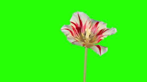 Yellow tulip bloom buds green screen, FULL HD (Tul Live Action
