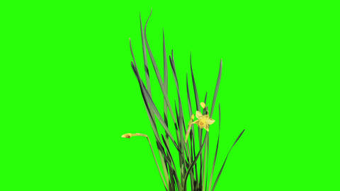 Yellow narcissus blossom buds green screen, FULL H Stock Video Footage