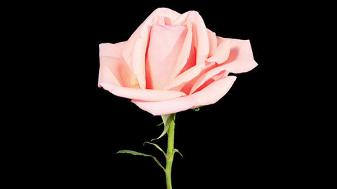Blooming pink roses flower buds ALPHA matte, FULL Stock Video Footage