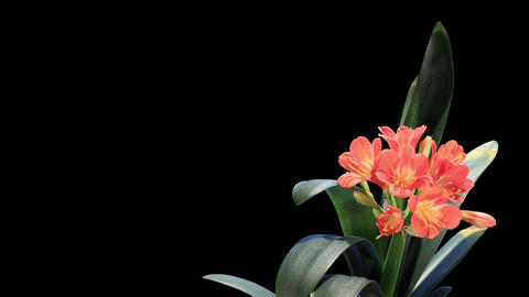 Growth of Clivia flower buds ALPHA matte, FULL HD. Stock Video Footage
