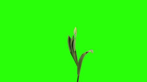 Yellow tulip bloom buds green screen, FULL HD (Tul Stock Video Footage