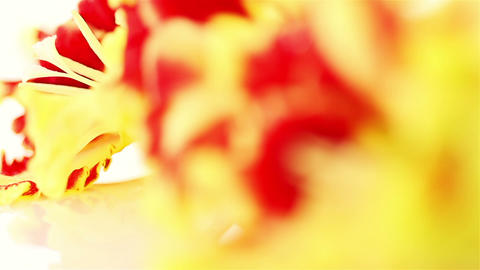 Gladiolus. Red-Yellow Flowers Stock Video Footage