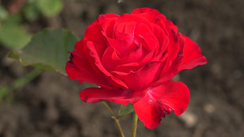 Red rose. Dissipated the Bud. 4K Stock Video Footage