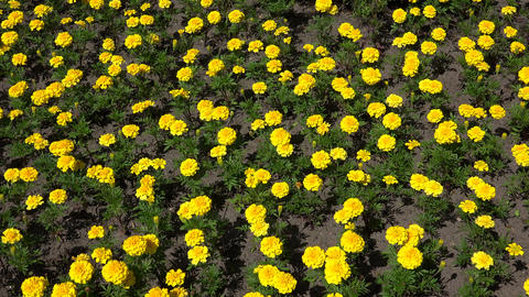 Yellow marigolds. 4K Stock Video Footage
