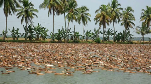 ALLEPPEY, INDIA - MARCH 2013: Large colony of duck Stock Video Footage
