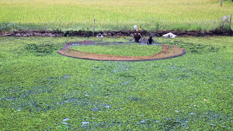 ALLEPPEY, INDIA - MARCH 2013: Rice paddy in Kerala Stock Video Footage