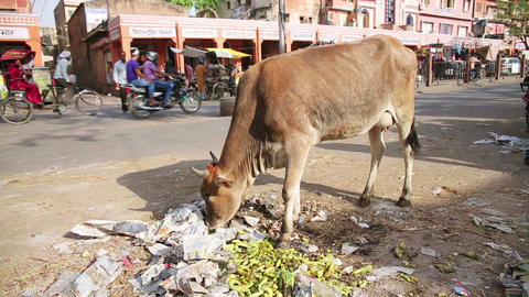 JAIPUR, INDIA - APRIL, 2013: Cow eating litter in Stock Video Footage