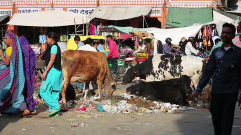 JAIPUR, INDIA - APRIL, 2013: Cows eating litter in Stock Video Footage