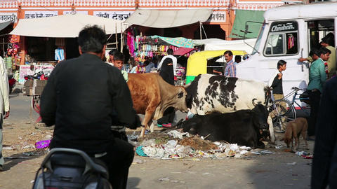 JAIPUR, INDIA - APRIL, 2013: Cows eating litter in Footage