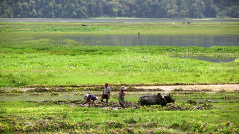 POKHARA, NEPAL - JUNE 2013: farmer plowing with ox Stock Video Footage