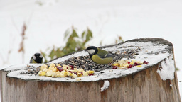 Winter - group of tits eating sunflower seeds Footage