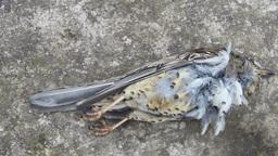 Dead bird (mistle thrush) on a concrete floor Stock Video Footage