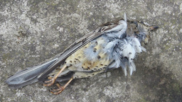 Dead bird (mistle thrush) on a concrete floor Footage
