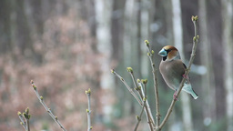Hawfinch Male Sitting On A Branch stock footage