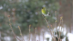 Eurasian Siskin male sitting on a branch Stock Video Footage