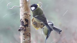 Two Great Tit and Blue tit eating fat ball Footage