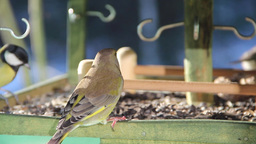 European Greenfinch eating sunflower seeds 2 Stock Video Footage
