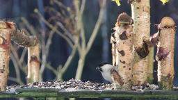 Willow tit eating sunflower seeds Stock Video Footage