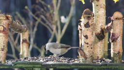 Willow tit eating sunflower seeds Footage