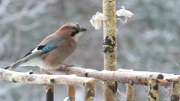 Jay eating pork fat - bird feeder. Winter 3 Stock Video Footage