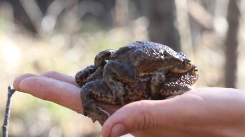 Couple Of Spring Toads On A Hand stock footage