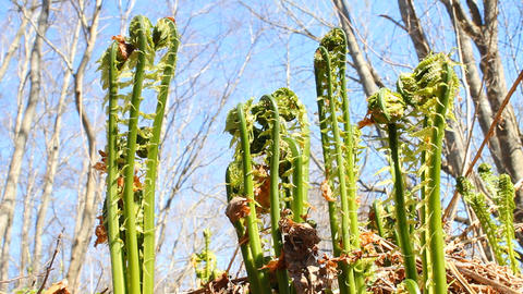 fiddlehead fern in the wood in spring sunny day Footage