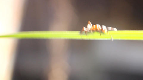 acro ant creeps on a green stalk of a grass Stock Video Footage