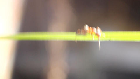 acro ant creeps on a green stalk of a grass Footage