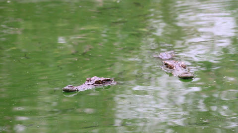 Crocodile on the river 2 Stock Video Footage