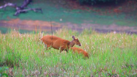 Barking Deer In A Field stock footage