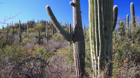 Saguaro Cactus Forest Against Blue Sky Footage