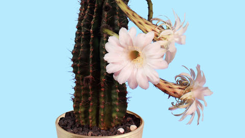 Time-lapse Opening white Echinopsis flower buds bl Stock Video Footage