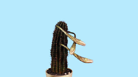 Time-lapse Opening white Echinopsis flower buds bl Footage