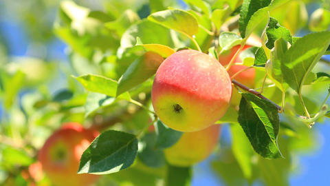 Delicious Apples With Blue Sky In The Background stock footage