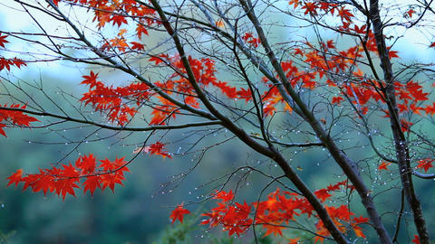 Autumn red maple leaves with foliage in the backgr Stock Video Footage