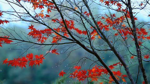 Autumn red maple leaves with foliage in the backgr Footage