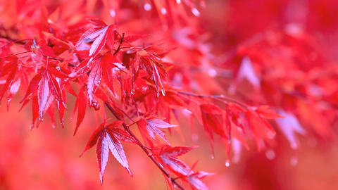 Red maple branch in the rain Footage