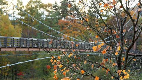 Autumn maple Footage