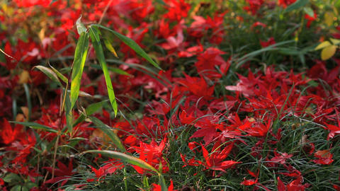 Autumn red maple leaves Footage