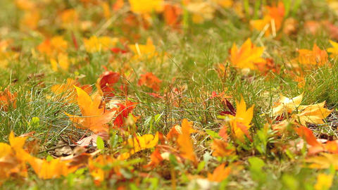 Autumn maple leaves fall to the ground Stock Video Footage