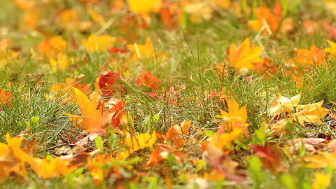 Autumn maple leaves fall to the ground Footage
