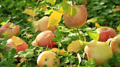 Apples on the ground Footage