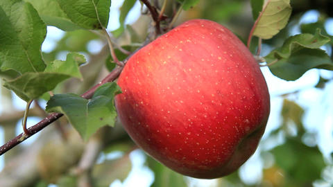 Apple trees with red apple Footage