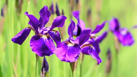 Purple irises Footage